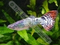 Guppy Dragon Jumbo - click for more details