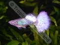 Guppy Green White Tail Metallic - click for more details