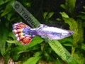 Guppy Varigate Metallic Show - click for more details