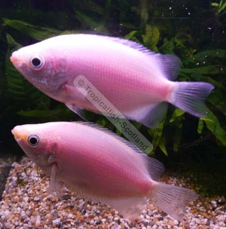 Pink tropical fish for Pink kissing fish