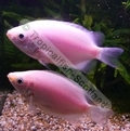 Gourami Kissing Pink (Juvenile) - click for more details