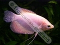 Gourami Giant Gold - click for more details