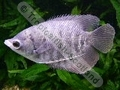 Gourami Giant Red Fin - click for more details