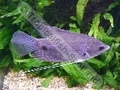 Gourami Giant (S) - click for more details
