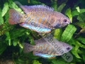 Gourami Giant Indian - click for more details