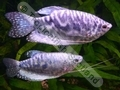 Gourami Opaline (Adult) - click for more details