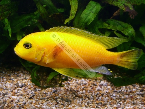 Yellow tropical fish images galleries for Yellow tropical fish
