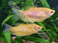 Gourami Golden (Adult) - click for more details