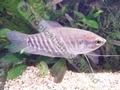 Gourami Snakeskin - click for more details