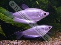 Gourami Moonlight Silver (Juveniles) - click for more details