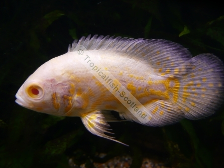 Tropical Fish  patibility Chart as well Leaping Mullet Liza Saliens together with Malawi Aquarium additionally Freshwater Fish As Pets Freshwater Fish For Pets Animalgals besides Fish Info Photos. on oscar fish brackish