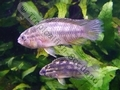 Golden Dwarf Cichlid (PAIR) - click for more details