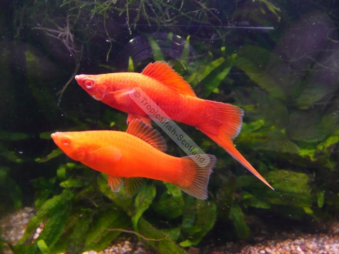 Swordtail Red-eyed red, Swordtails - Tropical - Tropicalfish-Scotland