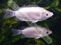 Gourami Kissing Green - click for more details