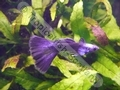 Guppy Purple - click for more details