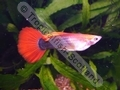Guppy Blonde Red Tuxedo - click for more details