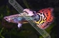 Guppy Dragon - click for more details