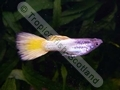 Guppy German Yellow - click for more details