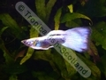 Guppy Neon Blue - click for more details