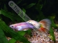 Guppy Gold Tuxedo Sunset - click for more details