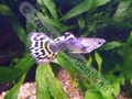Guppy Tuxedo Yellow Varigated - click for more details
