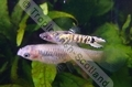 Guppy Tiger - click for more details