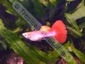 Guppy Flamingo Gold Head - click for more details