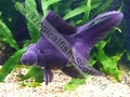 Oranda Black Butterfly Tail - click for more details