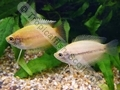 Gourami Honey Golden - click for more details