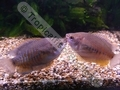 Gourami Thicklip (S)(Pair) - click for more details
