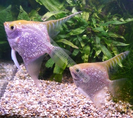 Angelfish Gold Pearlscale
