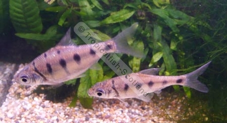 Spotted Barb : Barb Silver Spotted, Barbs - Tropical - Tropicalfish-Scotland