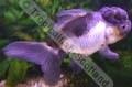 Oranda Black and White Panda - click for more details
