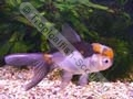 Oranda Panda Tri-Colour - click for more details