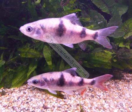 Arulius Barb : Barb Arulius, Barbs - Tropical - Tropicalfish-Scotland