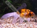 Red Calico Fantail - click for more details
