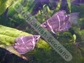 Gourami Chocolate - click for more details