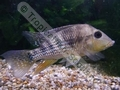 Geophagus Steindachneri - click for more details