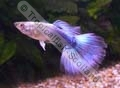 Guppy Blue Tuxedo - click for more details