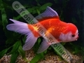 Oranda Red and White (S) - click for more details