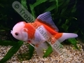 Oranda Red and White - click for more details