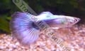 Guppy Blue Neon (M) - click for more details