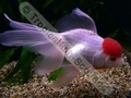 Oranda Red Cap (L) - click for more details