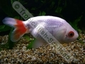 Ranchu White and Red - click for more details