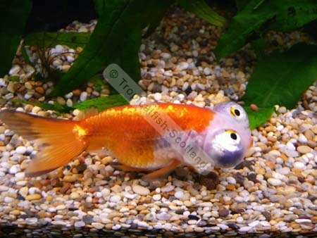 Is cold water bad for goldfish for Cold freshwater fish