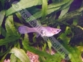 Guppy Endler Female - click for more details