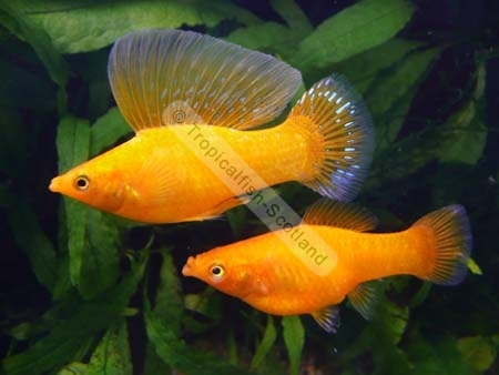 how to tell sex of sunset platy
