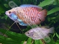 Gourami Dwarf Rainbow (Pair) - click for more details