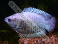 Gourami Dwarf Powder Blue Neon (Males) - click for more details