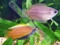 Gourami Honey - click for more details